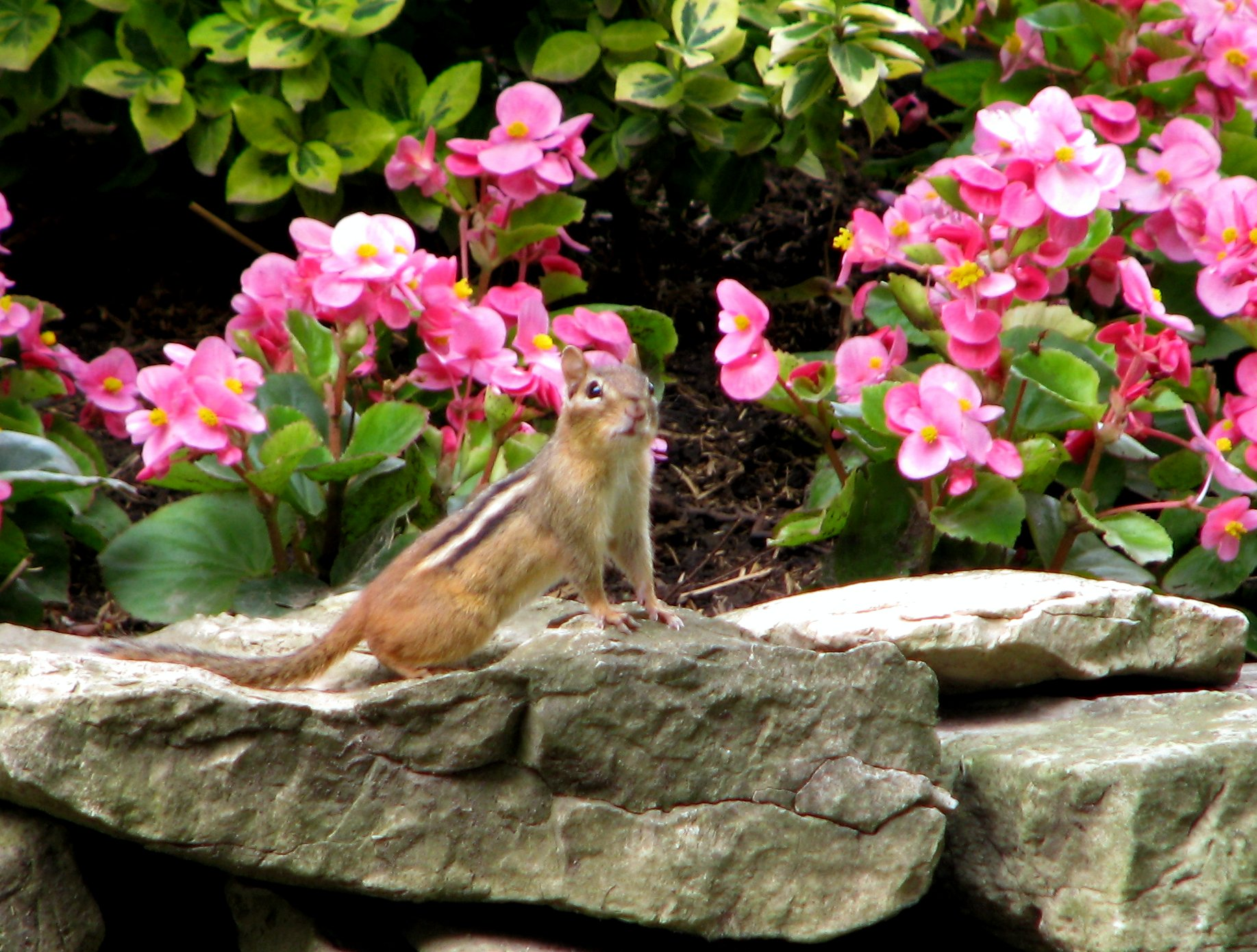 chipmunk perched on the rocks in front of pink begonias